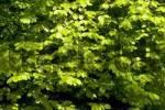 Thumbnail Green leaves