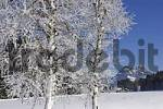 Thumbnail with white frost covered birch Krungl Styria Austria