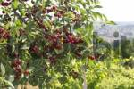 Thumbnail Cherry tree with mature fruits - Slovenia