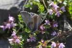 Thumbnail blue butterfly - Slovenia