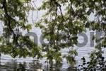 Thumbnail ash tree at lake Starnberger See