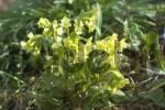 Thumbnail Primula veris cowslip