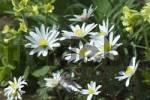 Thumbnail Spring Anemone blanda anemone bloom