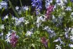 Thumbnail Scilla siberica Corydalis cava bloom