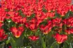 Thumbnail tulip tulipa