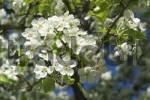 Thumbnail fruit tree bloom