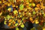 Thumbnail european beech leaves in autumnal colors - Germany, Europe.Germany, Europe.