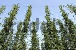 Thumbnail Hop plants is growing in the sky Hallertau