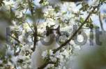 Thumbnail cat in blooming apple tree