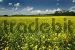Thumbnail rape canola fields in Bavaria Germany