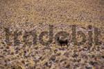 Thumbnail Lonely donkey in Atacama desert Chile
