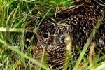 Thumbnail Lagopus mutus female camouflage