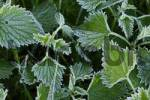 Thumbnail nettle Urtica with frost Lower Austria Austria