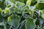 Thumbnail nettle Urtica with frost Lower Austria Austria