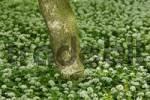 Thumbnail wood with flowers of leek near Leobersdorf Lower Austria Austria