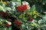 Thumbnail European cranberrybush Viburnum opulus seed head Germany