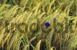 Thumbnail Single cornflower in a grain field centauera cyanus