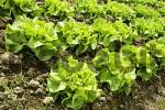 Thumbnail Green salad growing in a field Germany
