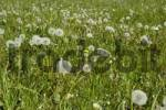 Thumbnail Green meadow with dandelions Taraxacum officinale