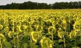 Thumbnail Markt Schwaben, GER, 01. Aug. 2005 - Sunflowers on a field, Picture was digitally manipulated
