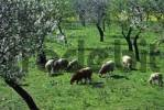 Thumbnail Mallorca sheep and almond blossom
