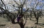 Thumbnail Mallorca Serra de Tramuntana - blooming cherry trees