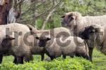 Thumbnail Sheep