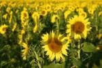 Thumbnail Sunflowers