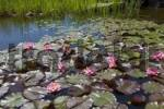 Thumbnail Pond with sea-roses in bloom