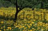 Thumbnail Mallorca - flower meadow, crown daisy Chrysanthemum coronarium