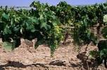 Thumbnail vineyard near Jerez de la Frontera Andalusia Province Cadiz Spain