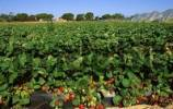 Thumbnail strawberry field Andalusia Spain