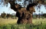 Thumbnail Holm Oak Quercus ilex Dehesa Extremadura Spain