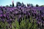 Thumbnail French Lavender Lavendula stoechas Extremadura Spain