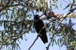 Thumbnail Crow in a eucalyptus tree, south Australia