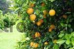 Thumbnail Oranges on a orange tree