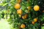 Thumbnail Oranges on a orange tree
