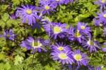 Thumbnail Grecian Windflower Anemone blanda in a garden