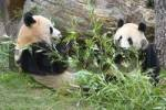 Thumbnail Giant Panda bear Ailuropoda melanoleuca eating bamboo in the zoo Schönbrunn Vienna Austria