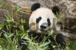 Thumbnail Giant Panda bear Ailuropoda melanoleuca eating bamboo in the zoo Schönbrunn Vienna Austria