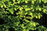 Thumbnail leaves of Wych Elm Ulmus glabra Germany