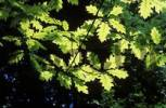 Thumbnail leaves of Northern red oak Quercus rubra Germany