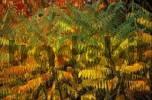 Thumbnail staghorn sumac Rhus typhina