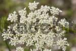 Thumbnail hoverfly Epistrophe balteata on flower of Wild carrot - Daucus carota - Germany