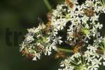 Thumbnail hoverflies on Hogweed - Heracleum sphondylium - Germany