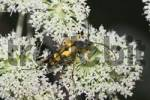 Thumbnail Longhorn Beetle Strangalia maculata at wild angelica Angelica sylvestris - Germany