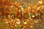 Thumbnail Autumnale colored beech leafs