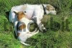 Thumbnail Schlafender Jack-Russel-Terrier mit Welpen