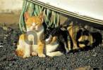 Thumbnail Cats - Lanzarote - Spain