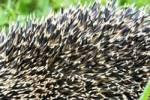 Thumbnail Prickers of a hedgehog Erinaceus europaeus